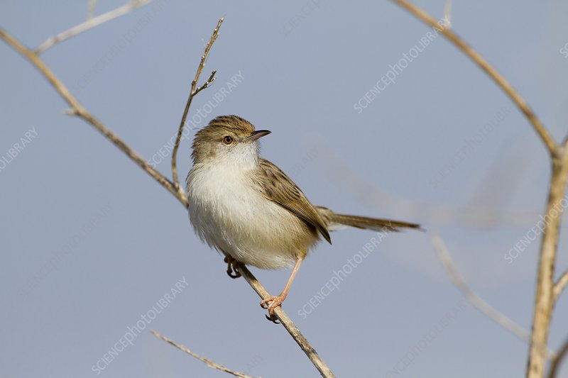 Graceful Prinia (Prinia gracilis)