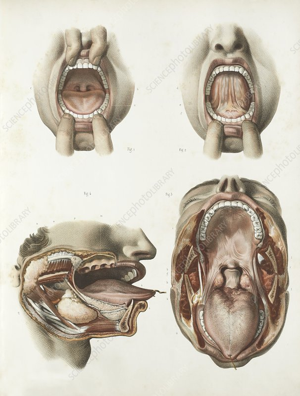 Mouth anatomy, 1839 artwork