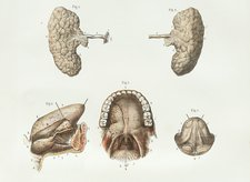 Salivary glands, 1839 artwork
