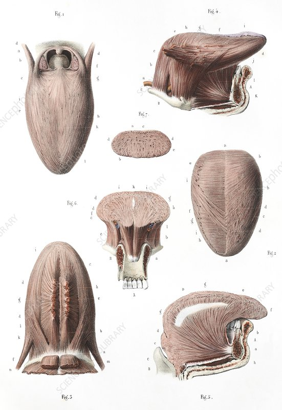 Tongue anatomy, 1839 artwork