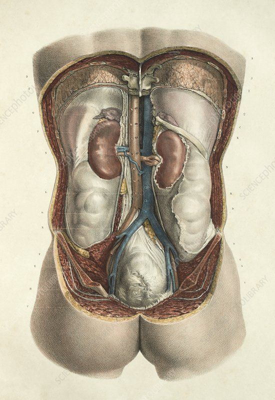 Kidneys, 1839 artwork