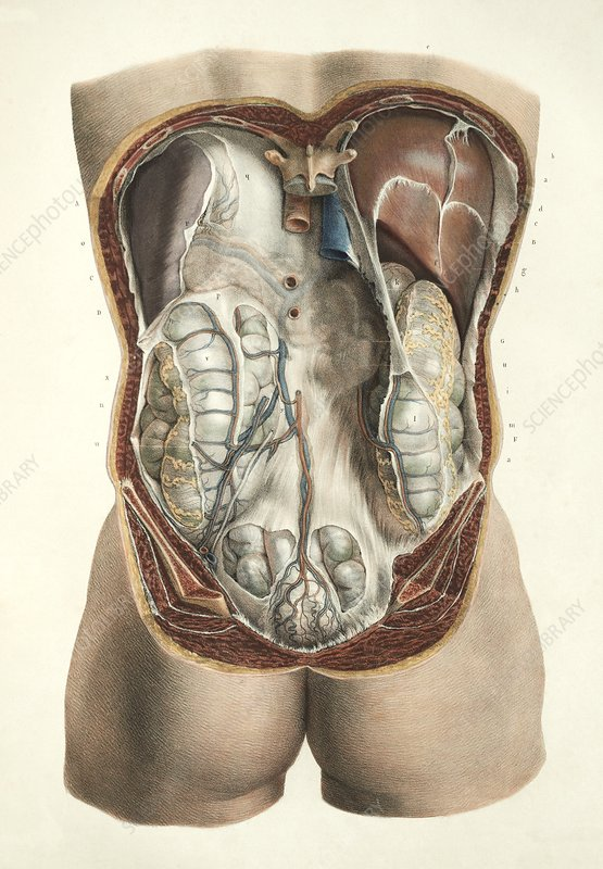 Abdominal anatomy, 1839 artwork