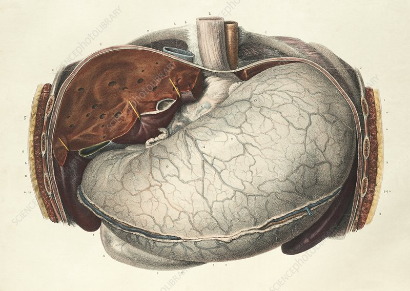 Stomach and liver, 1839 artwork