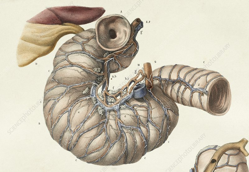Small intestine, 1839 artwork