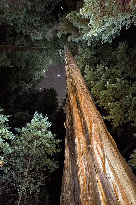 Redwood (Sequoia sempervirens) trees