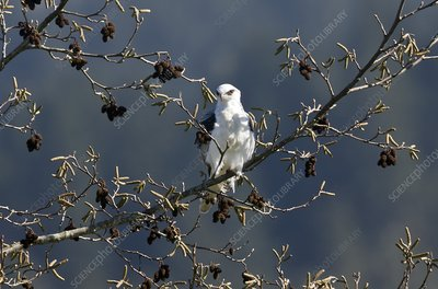 White-tailed kite in a tree