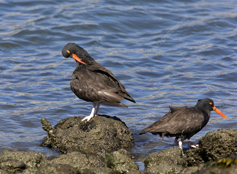 Black oystercatchers feeding