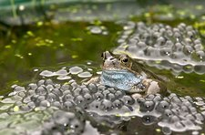 Common frog and frogspawn