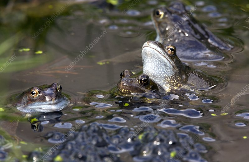 Common frogs mating amongst frogspawn