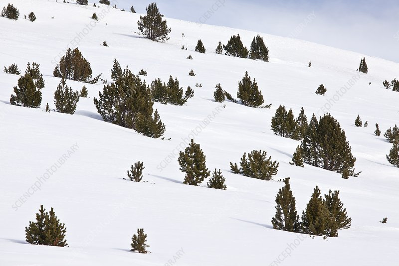 Mountain pine (Pinus mugo) trees in snow
