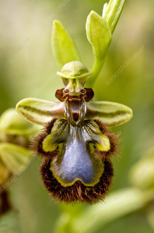 Mirror orchid (Ophrys speculum) flower