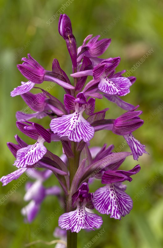 Butterfly orchid (Orchis papilionacea)