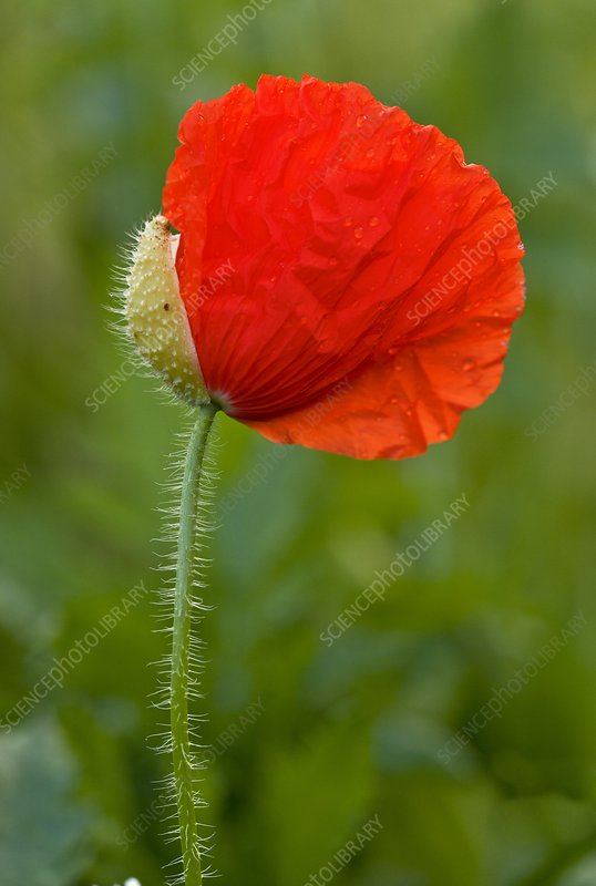 Field poppy (Papaver rhoeas) flower