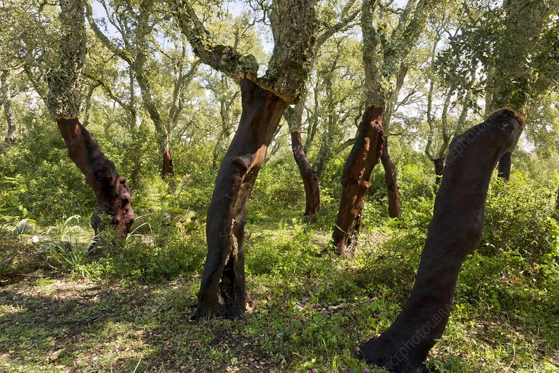 Managed cork oak (Quercus suber) forest