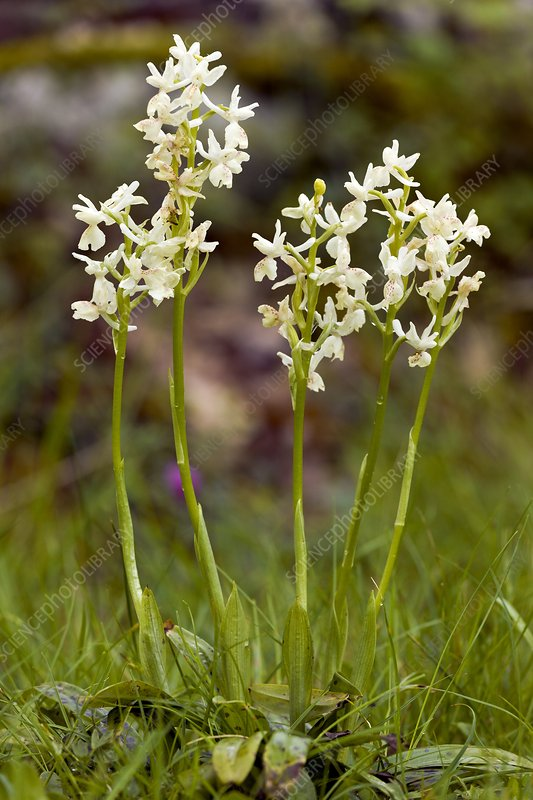 Provence orchids (Orchis provincialis)