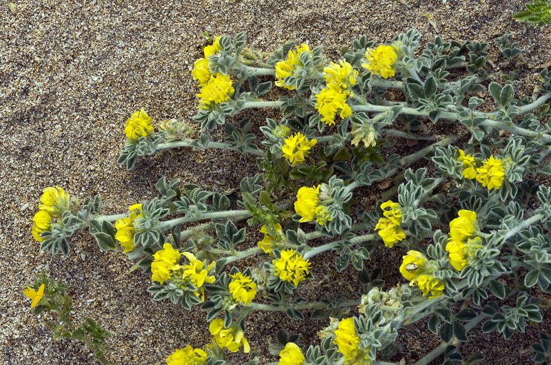 Sea medick (Medicago marina)