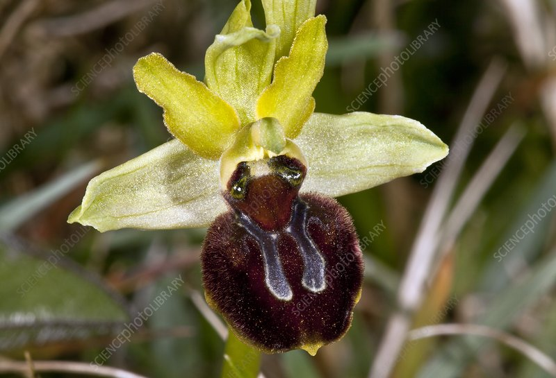 Spider orchid (Ophrys orphanidea) flower