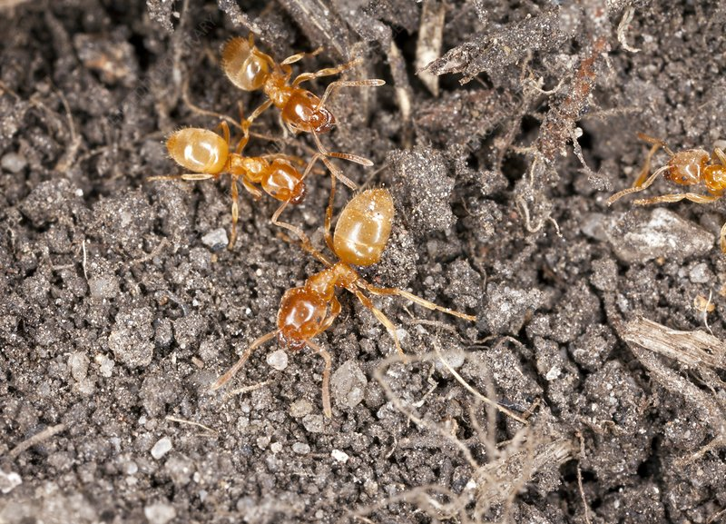 Yellow meadow ants
