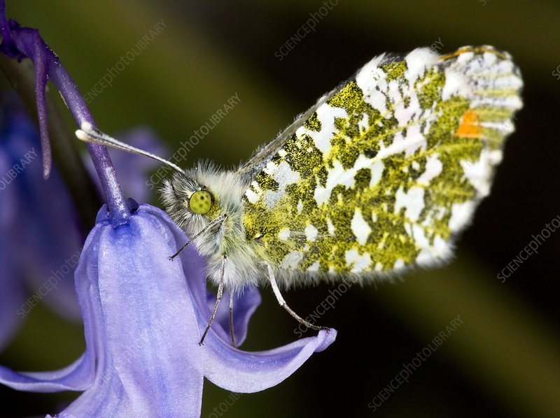 Orange-tip butterfly on bluebell