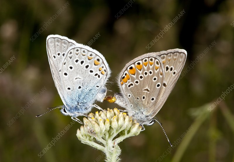 Amanda's blue butterflies mating