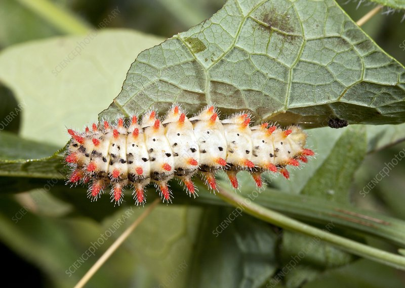 Southern festoon caterpillar