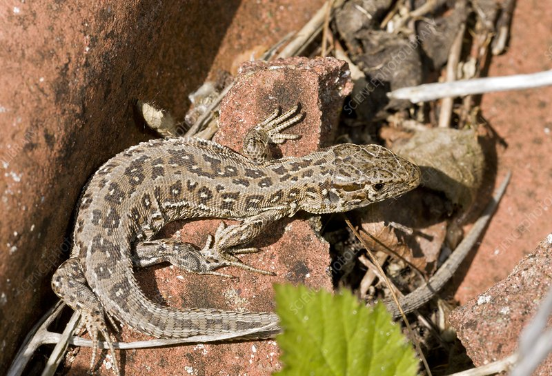 Female sand lizard basking