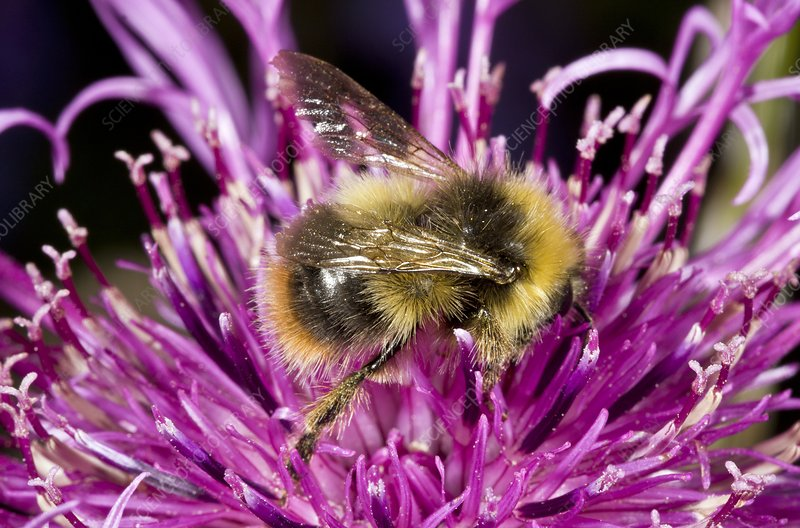 Red-tailed bumblebee on knapweed