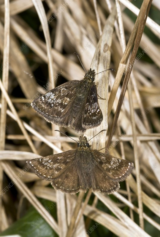 Dingy skipper butterflies