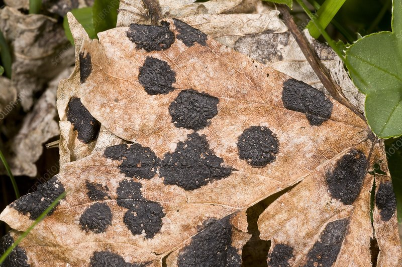 Tar spot fungus on sycamore