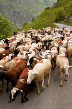 Sheep flock being moved, French Pyrenees
