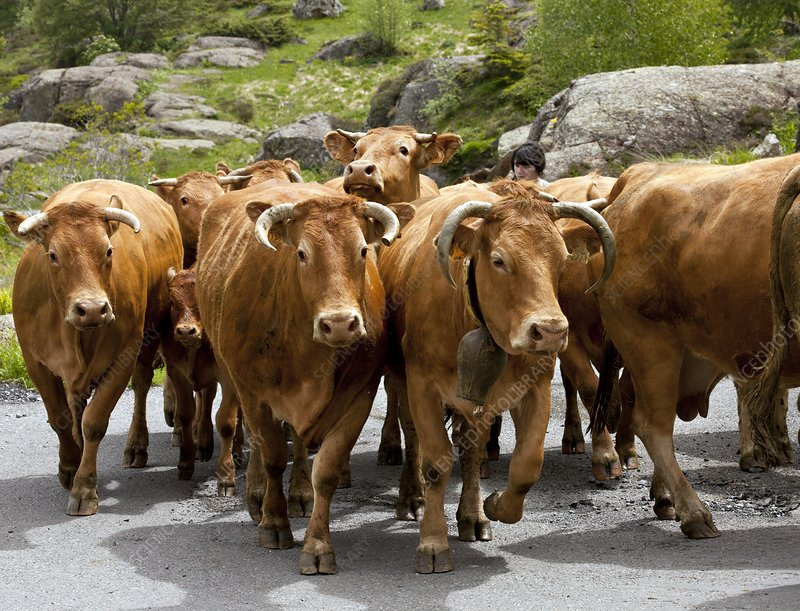 Cattle herd being moved, French Pyrenees