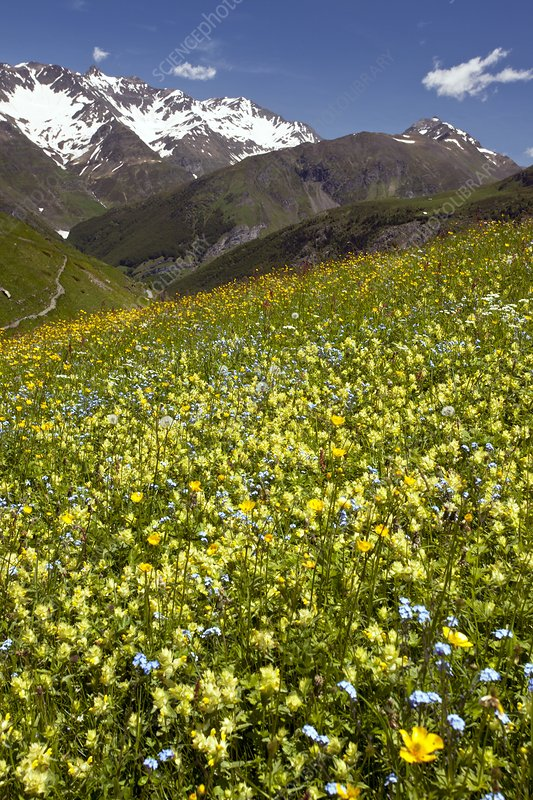 Flowering hay meadow, French Pyrenees
