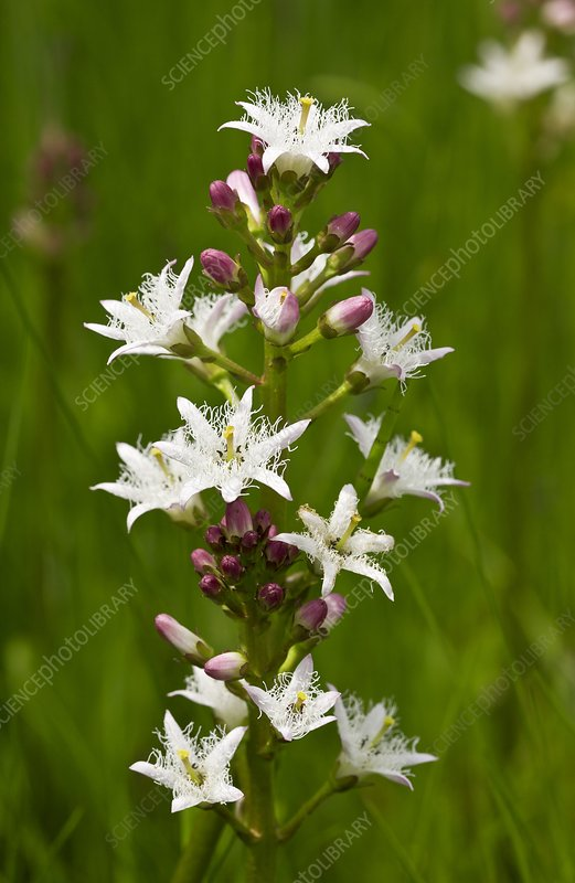 Bogbean (Menyanthes trifoliata) in flower