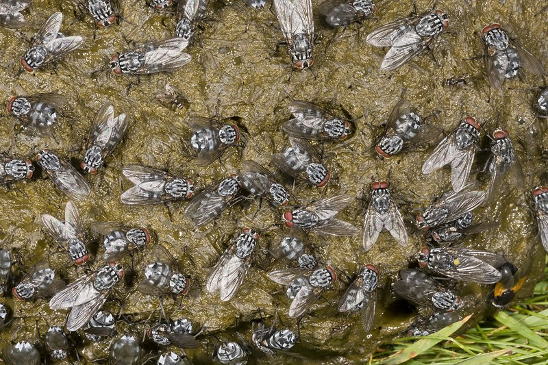 Flies on cow dung