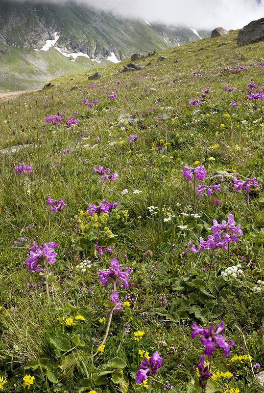 Flowering mountain grassland, Turkey