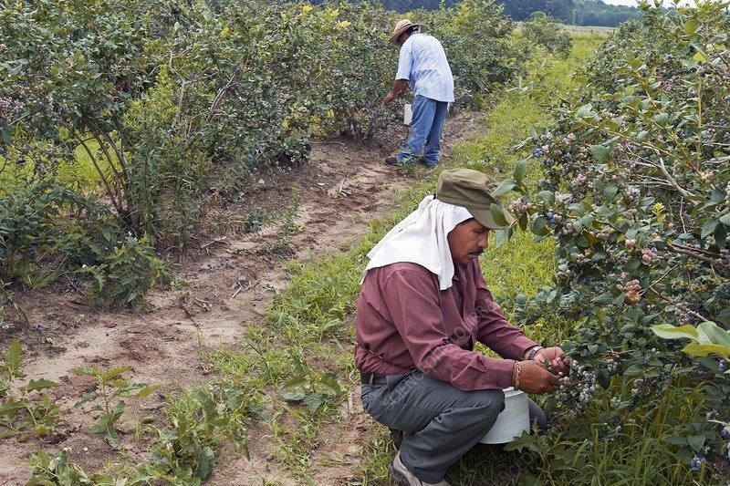 Blueberry harvest, USA
