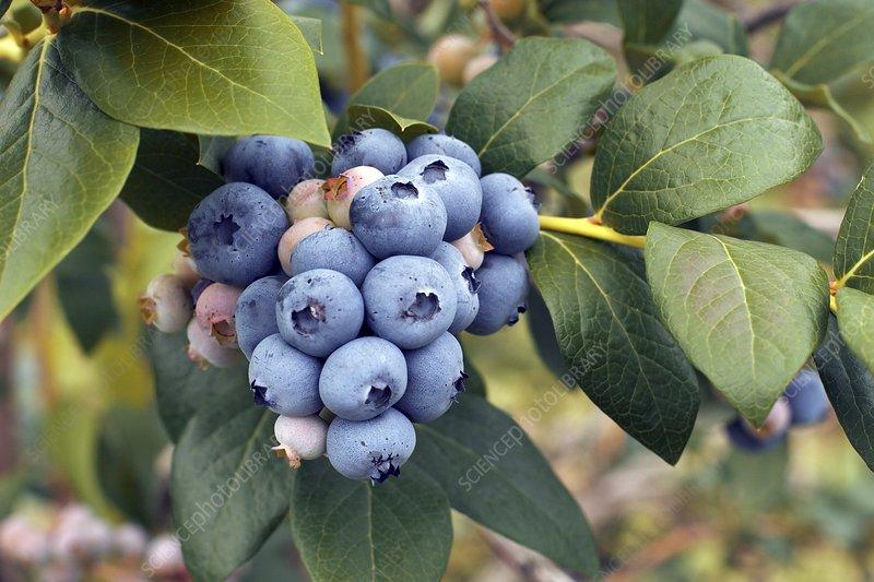 Blueberries (Vaccinium sp.)