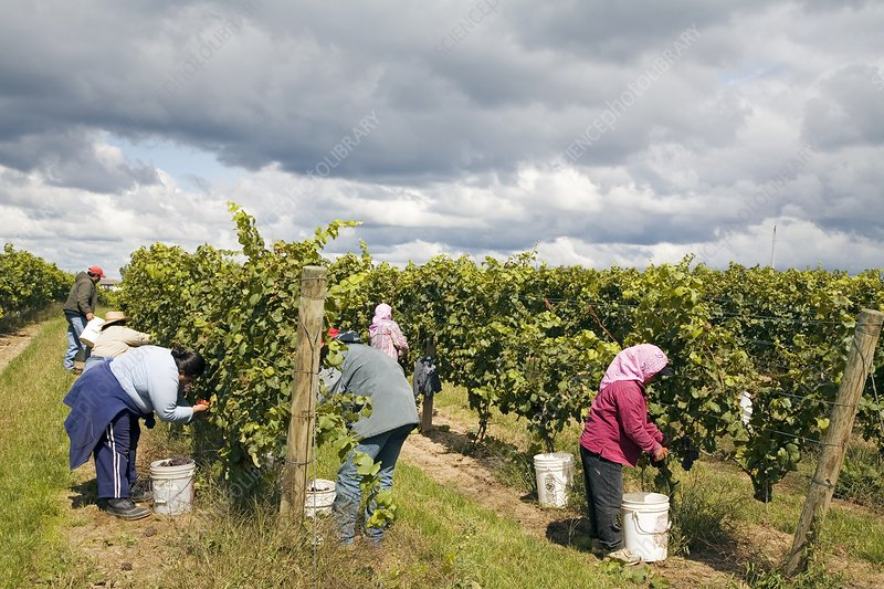 Wine grape harvest, USA