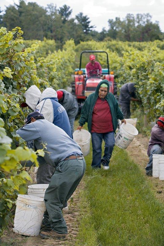 Wine grape harvest, USA