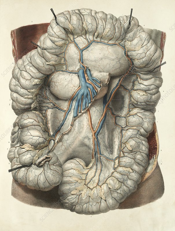 Large intestine, 1839 artwork