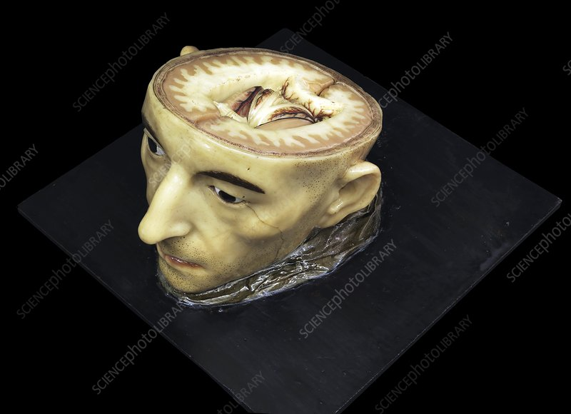 Head and brain model, 18th century