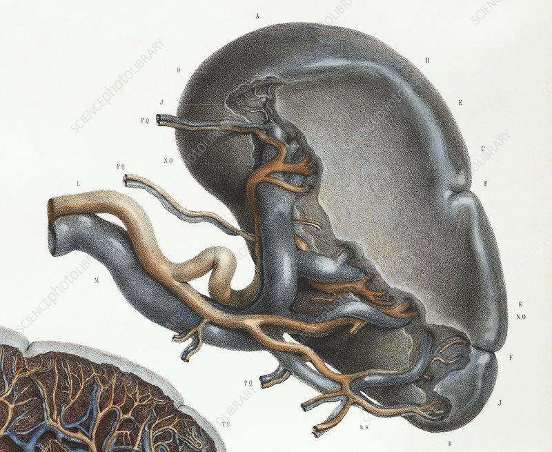 Spleen anatomy, 1839 artwork