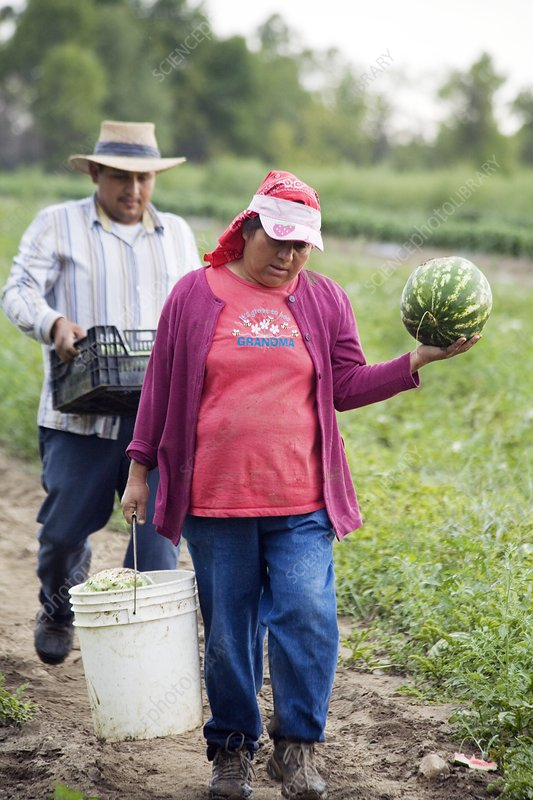Watermelon harvest, USA