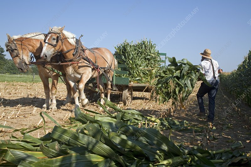 Harvest on an Amish farm