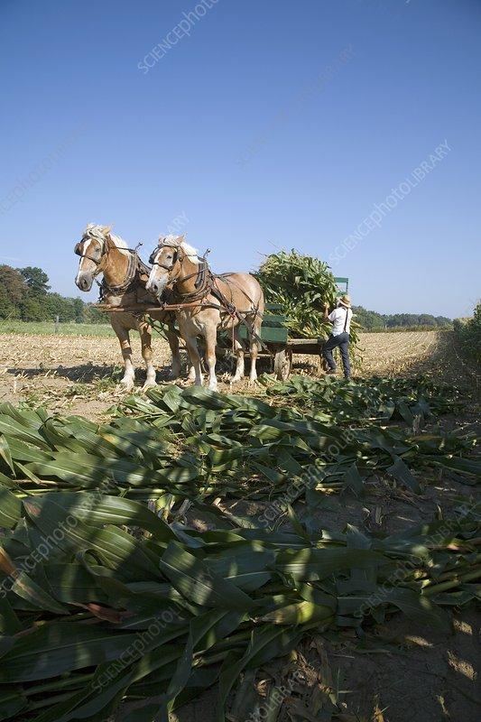 Harvest on an Amish farm