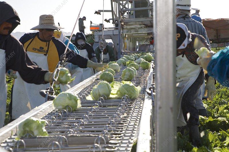 Lettuce harvest, USA