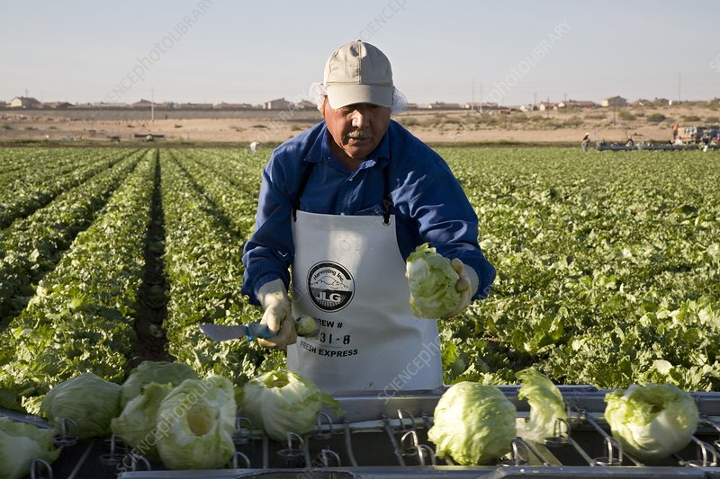 Lettuce harvest, USA