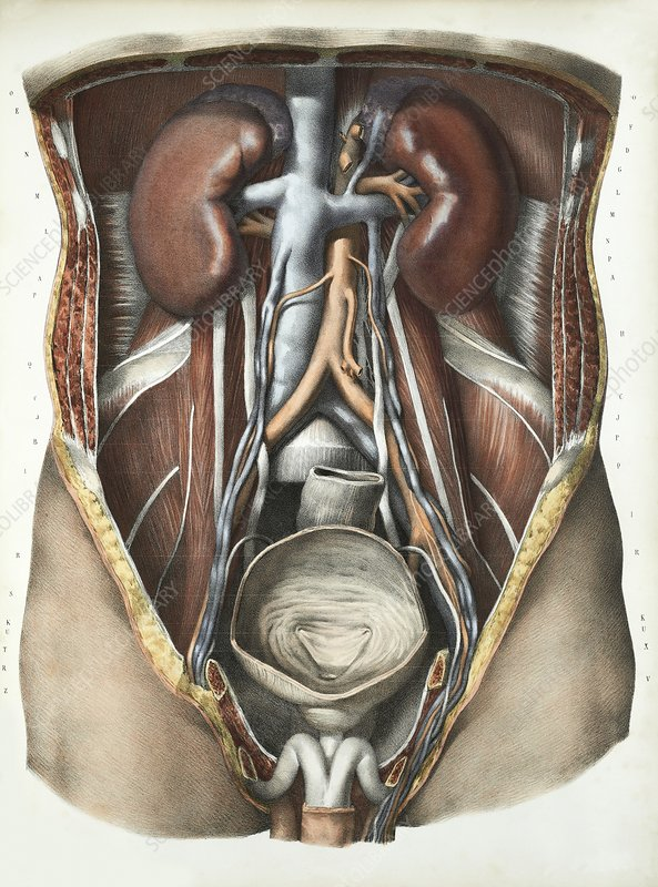Urinary system, 1839 artwork