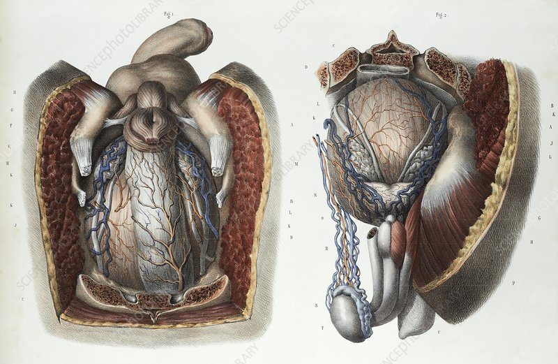 Male reproductive system, 1839 artwork