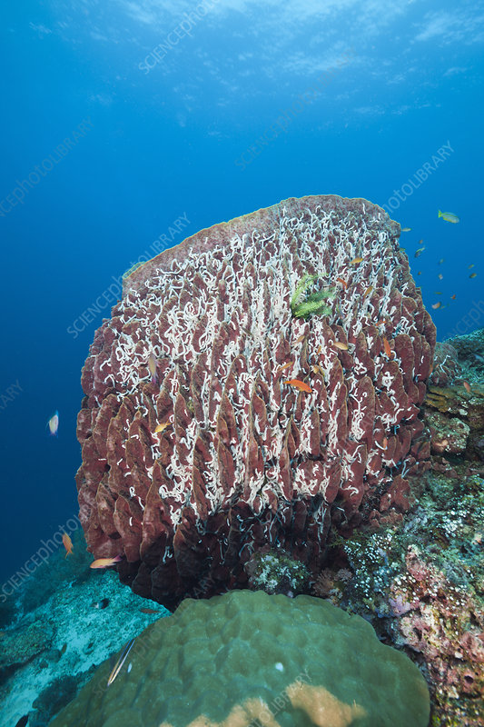 Great Barrel Sponge